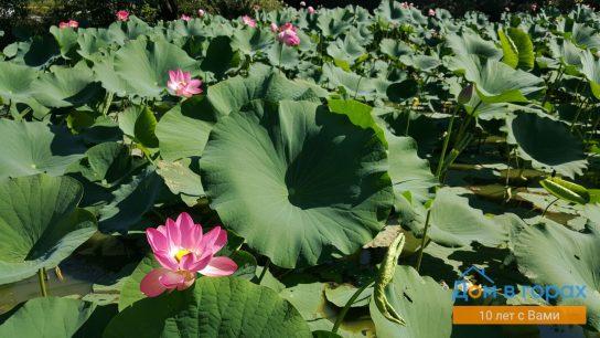 2 Майское озеро и индийские лотосы в Хадыженске (4)